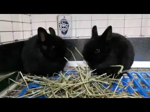 Black Netherland Dwarf Baby Rabbits