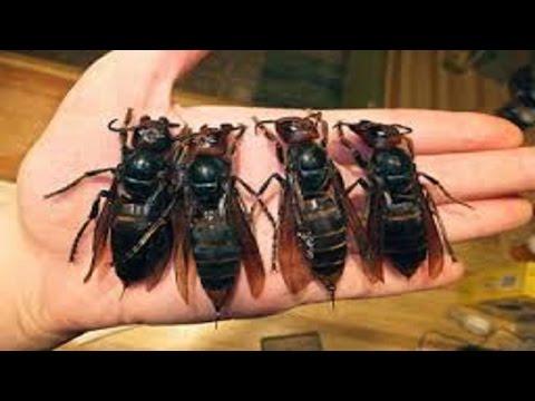ricercatori scoprono una vespa che potrebbe uccidere le cellule tumorali