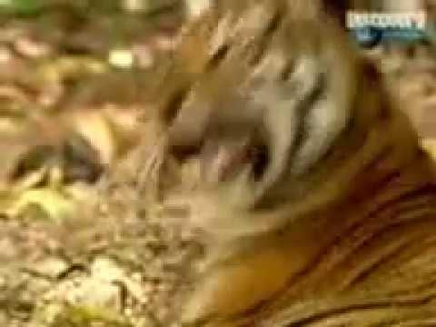 Video बाग aur बंदर की Ladai download in MP3, 3GP, MP4, WEBM, AVI, FLV January 2017