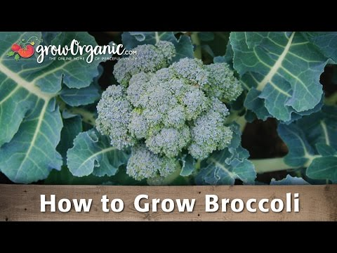 Growing Broccoli