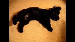 CUTE Toy Poodle Rolls Over Shows Tummy FUNNY