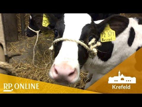 Rinder unter dem Hammer: Ein Tag bei der Zuchtviehaukti ...