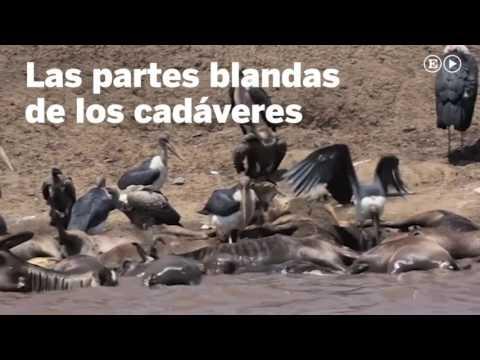 La muerte de ñus que da vida al río Mara  Ciencia