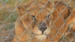 Lew spał na betonie przez całe swoje życie. Zobacz jego reakcję, kiedy po raz pierwszy ujrzał trawę.