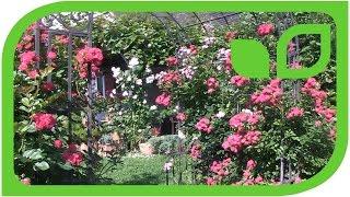 Das Roseasy Kletterröslein Just - in voller Blüte