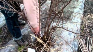 #313 Wie schneide ich eine Vierbeere (Ribes aureum)