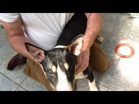 Taping Ears Up Humane Simple Safe Method that Works for dogs! Before & After Video HD