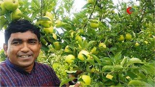 Apple Orchard (আপেল বাগান)-...