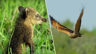 Young Coati Escapes Hawk - Wild Brazil - BBC Earth