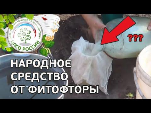 Народные средства от фитофторы на томатах. Обработка томатов молочной сывороткой.