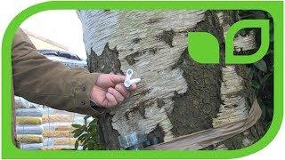 Schadet das Melken des Birkenwassers dem Birkenbaum?