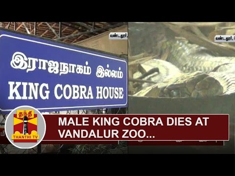 Male-King-Cobra-dies-at-Vandalur-Zoo-Thanthi-TV