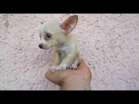 Precious Micro Pocket Teacup Chihuahua Male Puppy – Venta de Chihuahua de Bolsillo