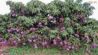 Video WOW! Amazing Agriculture Technology - Mango MP3, 3GP, MP4, WEBM, AVI, FLV Desember 2018