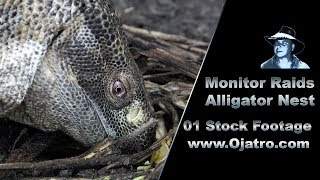 Monitor Raids Alligator Nest 01 Stock Footage