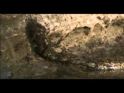 活生生的一條蛇,被上萬隻螞蟻吞沒!