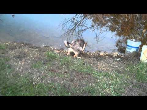Robin Blues Mr. Tiger Eye Video 2