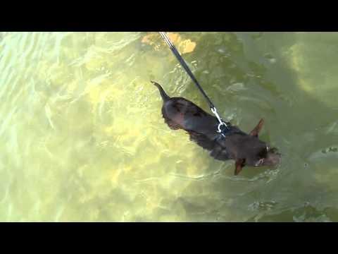 Miniature Chihuahua Swimming