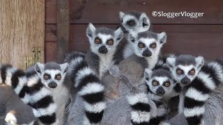 It's All About The Baby Lemurs Tail