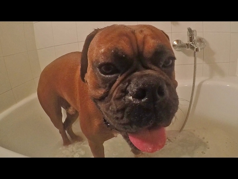 Boxer Dog Hates Bath Time 🐶