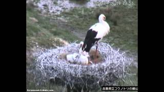 Toyooka Japan  city pictures gallery : Oriental Storks, Toyooka, Japan, 16 04 2014, 18 21 I can stand