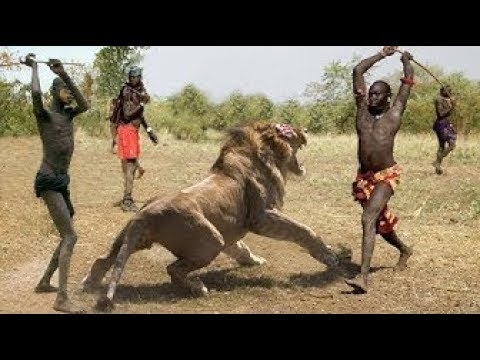 3 TIMES LIONS GOT DEFEATED IN THE AFRICAN JUNGLE   HQ