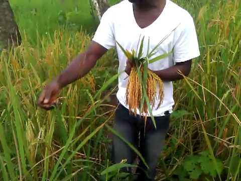 Harvesting rice the Liberian way