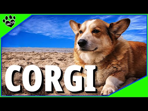Pembroke Welsh Corgi Dogs 101 Interesting Facts #corgi #dog #Pembroke (видео)