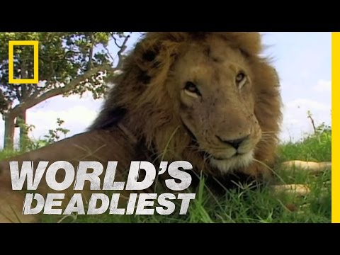 World s Deadliest - Lion vs