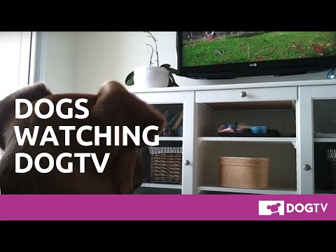 Video Dogs love to watch DOGTV! download in MP3, 3GP, MP4, WEBM, AVI, FLV January 2017