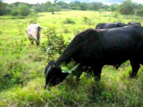 toros de raza lechera