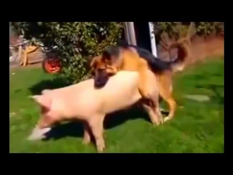 Video DOG Mating wit PIG!   Breeding Live Video download in MP3, 3GP, MP4, WEBM, AVI, FLV January 2017