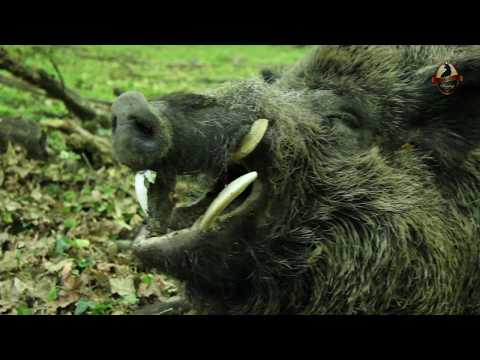 Hunting In Hungary With Wonderhart-Wild Boar 2017
