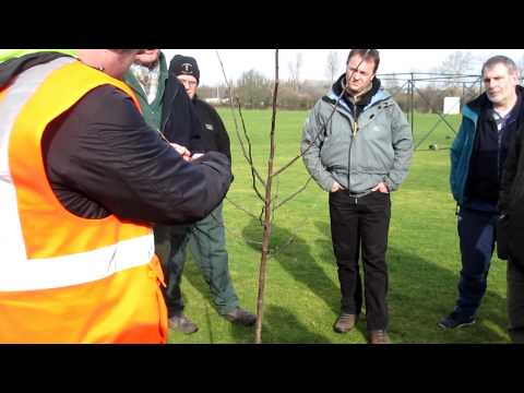 Walsall Big Tree Plant – formative pruning