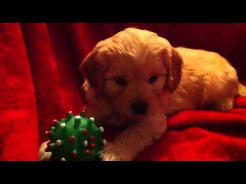 Handsome miniature goldendoodle puppy