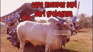 Video Cara BAJINGAN!! SI KUSIR GEROBAK SAPI Melepas Tali Sapi Dari Grobangnya - Kontes Sapi Boyolali 2018 MP3, 3GP, MP4, WEBM, AVI, FLV Januari 2019