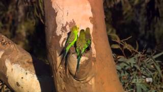 Documentary on Australian Parrots