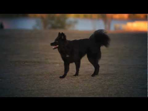 Belgian Shepherd-Chihuahua Mix Wrestles in the Park | The Daily Puppy