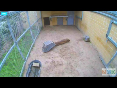 Jacksonville/USA: Jacksonville Zoo - Tiger Cubs Nurse ...