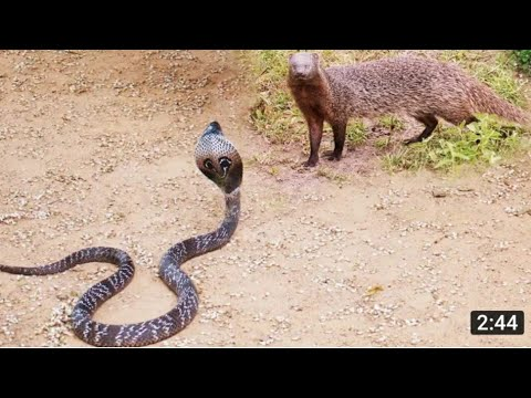King Cobra Big Battle In The Desert Mongoose and the unexpected | Most Amazing Attack of Animals