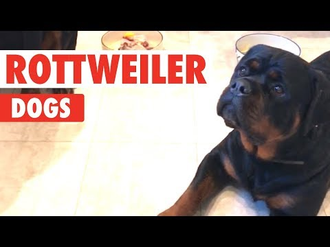 Rottweiler Dogs Video Compilation   Breed All About It