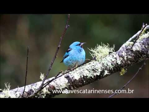 Saíra-azul - Cristiano Voitina