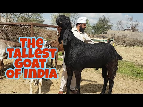 The Tallest Goats Of This Year | Vishu Bhai Goats.