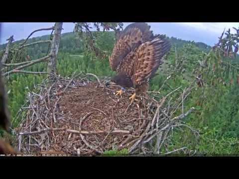 Не очень удачная посадка молодого орла в гнездо