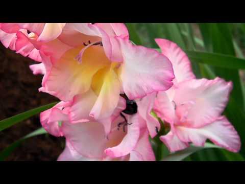 gladiolus 'n bee