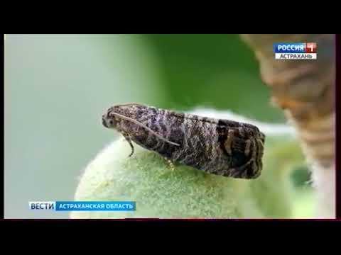 Об обследовании садов на карантинных вредителей в Астраханской области