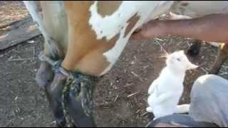 Un chat boit du lait de vache, directement pendant la traite