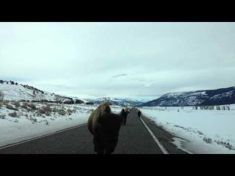 bufalo si scontra contro un'auto!