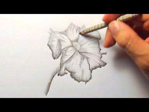 Petunie, zeichnen im Zeitraffer (Petunia, drawing in fast motion)[HD]