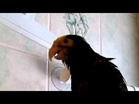 Apollo the Amazing Amazon Parrot Singing and Talking in the Shower